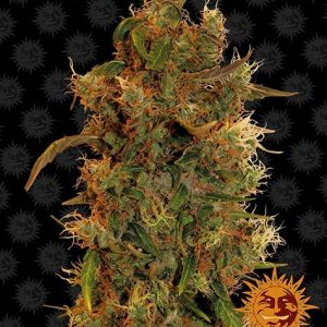 Barney's Farm Seeds 8 Ball Kush Feminised Seeds