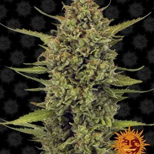 Barneys Farm - Acapulco Gold Feminized